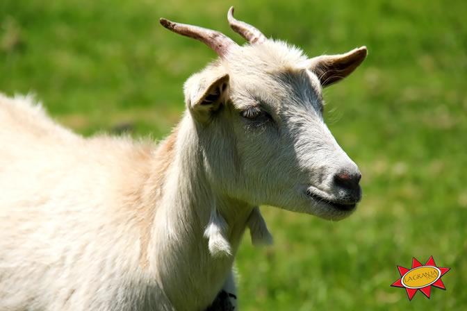 Cabra - Lupe