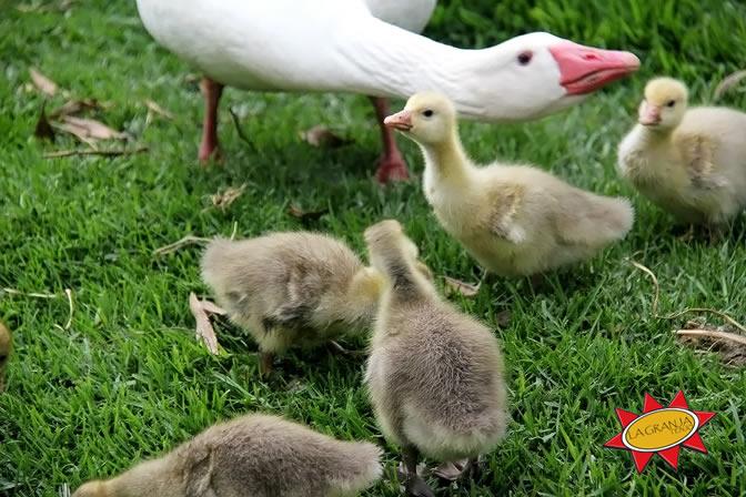 Patos - Familia Alboroto